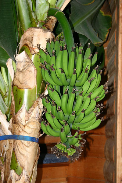a bumper crop of bananas