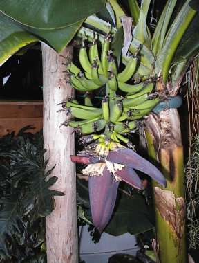 Banana flowers emerging!